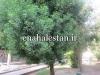 درخت کنوکارپوس
