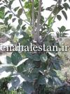 درخت انجیر بنگال